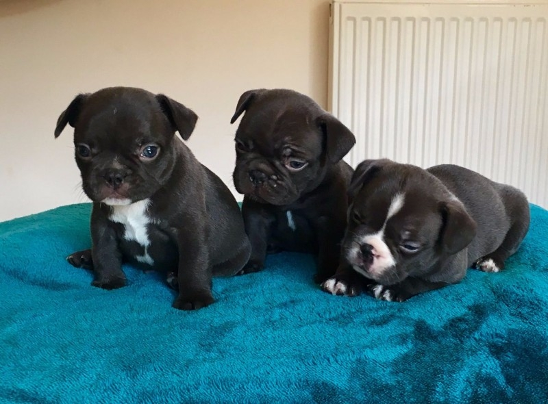 Texas Christmas Male And Female Boxer Puppies For Sale