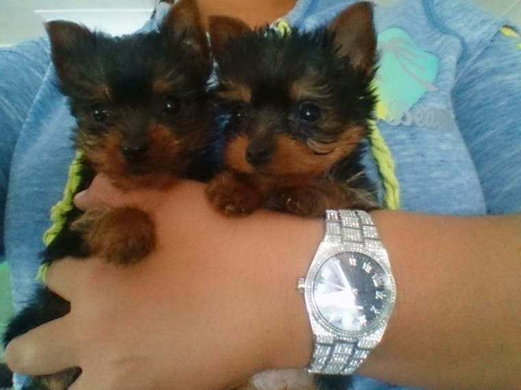 Texas Teacup Yorkie Puppy For Sale 725 333 5192 Pets And Animals