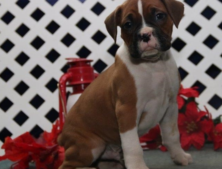 Texas Christmas Male And Female Boxer Puppies For Sale Pets And