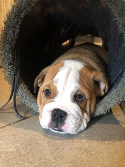 Texas Teacup Yorkie puppies Text at (339) 970-9126 : Pet